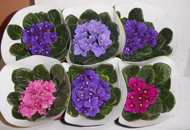 Какие цветы дарят на 8 марта в горшках фото купить дешевый подарок на 8 марта