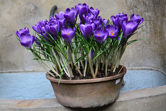 Крокусы в горшках на 8 Марта, цветы в горшках к празднику