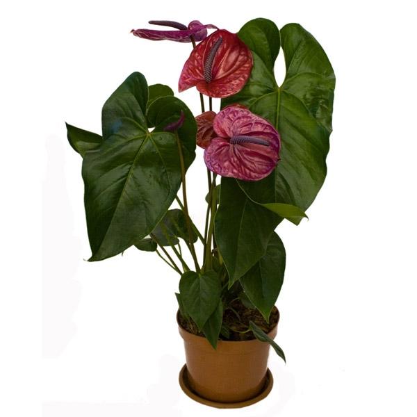 мужское счастье цветок антуриума уход и размножение