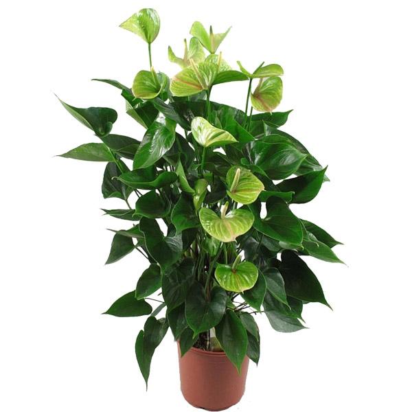 Цветок жизни зеленый