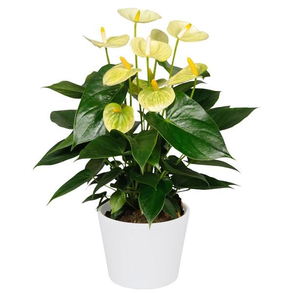 Комнатные цветы и наименования