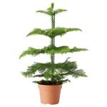 Араукария разнолистная, комнатная ель в горшке, комнатные хвойные растения