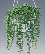 Комнатные кактусы и суккуленты - каталог с фото и описаниями, комнатные цветы кактусы, домашние цветы