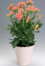 Каланхоэ, каланхоэ растения суккуленты, каланхоэ уход, каланхоэ фото, каланхоэ купить Днепропетровск