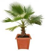 Вашингтонии, вашингтонии пальмы, вашингтонии уход, вашингтонии фото, вашингтонии купить