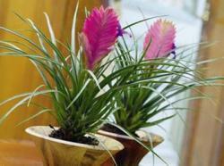Необычные комнатные растения, Тилландсии, растения