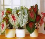 Цветок с разноцветными листьями