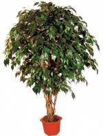 Растения фикусы бенджамина фикусы