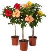 Гибискусы китайские, гибискусы китайские комнатные цветы, гибискусы уход, гибискусы купить Днепропетровск, гибискусы китайские фото