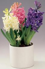 Гиацинты восточные, гиацинты луковичные комнатные растения, гиацинты домашние цветы, гиацинты уход, гиацинты купить Днепропетровск