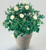 Розы комнатные, розы комнатные растения, розы комнатные цветы, купить комнатные розы Днепропетровск, rosa
