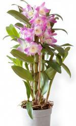 Дендробиумы, дендробиумы комнатные орхидеи, дендробиумы уход, дендробиумы фото, дендробиумы купить