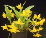 Ликасты, ликасты комнатные орхидеи, ликасты уход, ликасты фото, ликасты купить