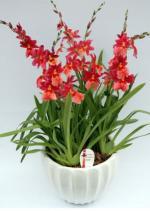 Одонтиоды, одонтиоды комнатные орхидеи, одонтиоды уход, одонтиоды фото, odontioda купить