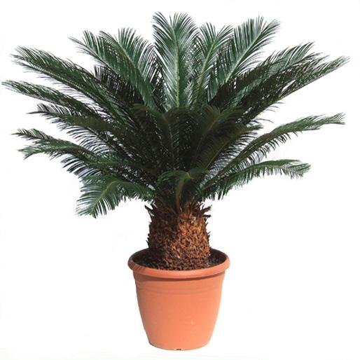 Цветы комнатные-пальмы