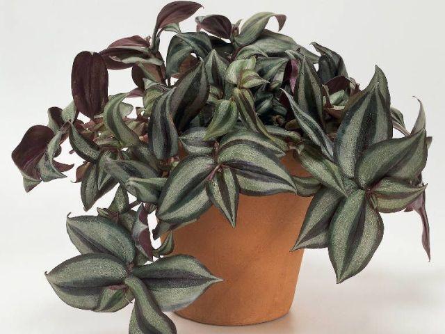 фото традесканция комнатное растение