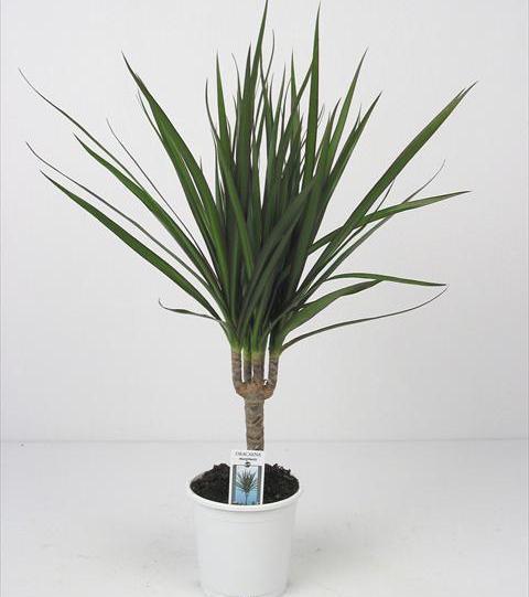 Драцены комнатные растения драцены