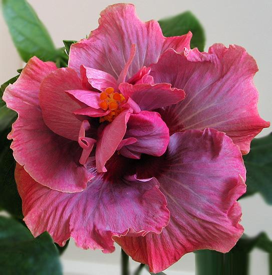 Комнатный цветок гибискус виды 77