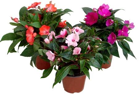 Цветущие комнатные растения с сочными