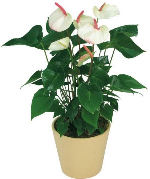 Цветы домашние купить фото доставка цветов в другие города россии