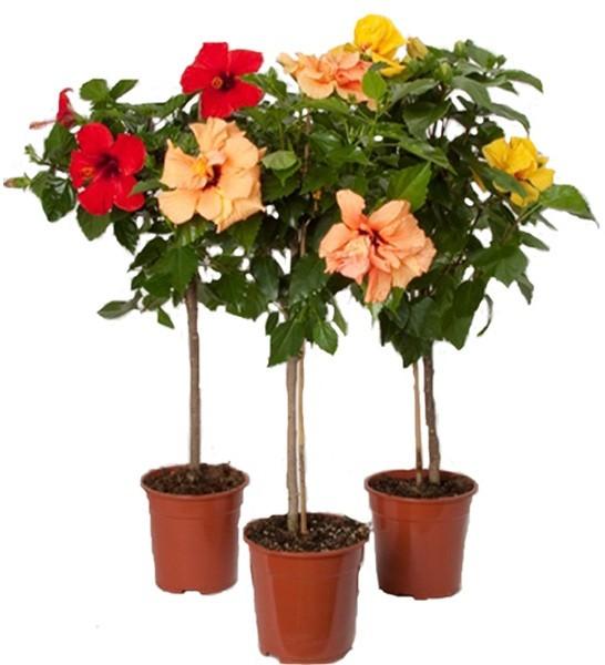 Закупить живые растущие цветы комнатные цветы сирени купить зимой