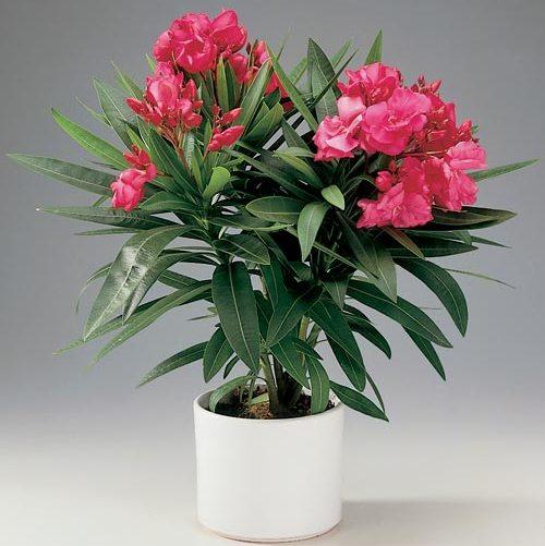 Комнатный цветок купить