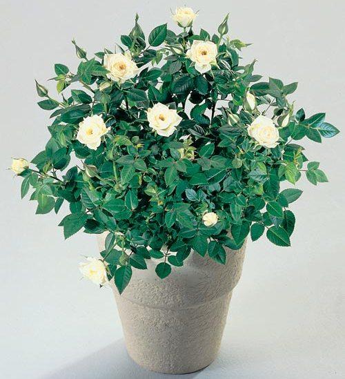 Роза-комнатные цветы