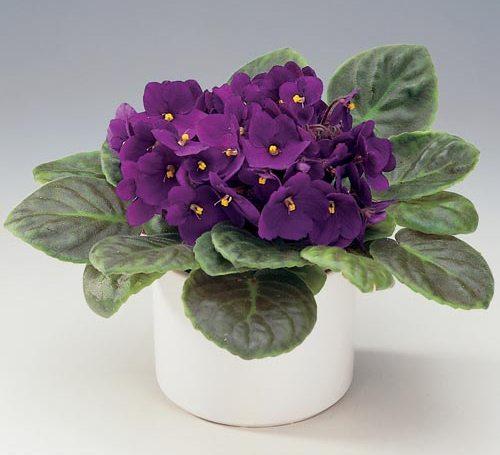 Домашние цветы купить фиалки купить цветы россада