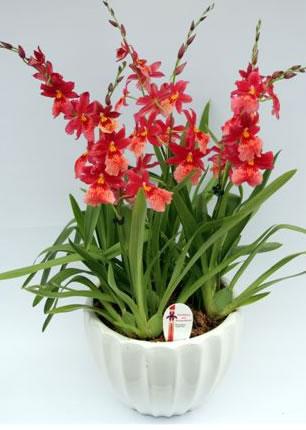 Одонтиоды комнатные орхидеи