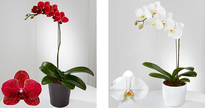 Цветок орхидеи в горшке #4
